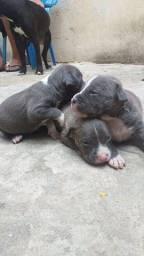 Título do anúncio: Pitbull Blue nose 3 fêmeas disponíveis todas cinza
