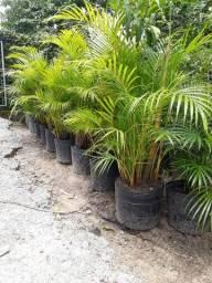 Barbada 10 palmeira areca