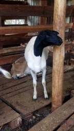 Vende-se ovelha dorper mojando por 850