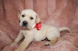 Labrador Retriever com pedigree microchip até em 18x