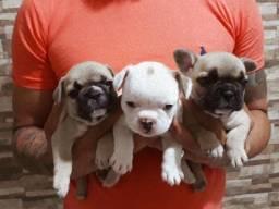 Filhotes de Bulldog Francês com Pedigree.