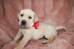 Labrador Retriever com pedigree microchip ate em 18x