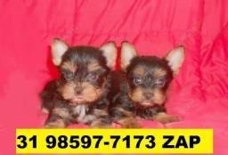 Canil Filhotes Cães Top BH Yorkshire Maltês Poodle Beagle Basset Lhasa