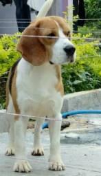 Beagles, filhotes vacinados e vermifugados em até 12x no cartão de crédito