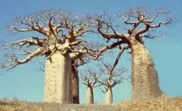 08 sementes de Baobá africano