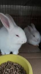 Vendo 2 lindos coelhinhos brancos