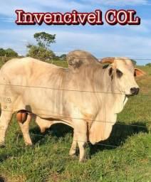 Vendo touros nelore PO excelente linhagem, média de 36 meses