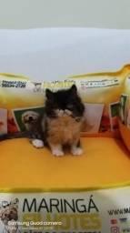 Vende-se lindos filhotes de gatos persas Machos e fêmeas.