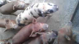 Leitoa caipira leitao macho femea porco