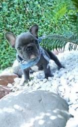 Bulldog buldogue frances FEMEAS E MACHO BLUE , gen , PEDIGREE CBKC