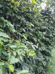 Fazenda 70 hectares produzindo café
