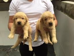Lindos filhotes de Golden Retriever com garantias em contrato, pedigree