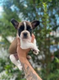 Bulldog Francês filhotes saudáveis e com total garantia de saúde