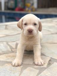 Labrador com pedigree e microchip em até 18x