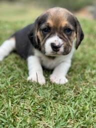 Título do anúncio: Filhote Beagle// @canilcanaa SP
