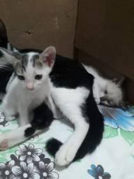 Doação / Adoção gato / gatinho