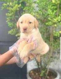 Labrador 11.9.5600-5535