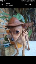 Vendo pinscher machinho!