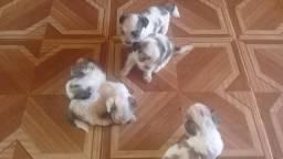 Lindos filhottes de Lhasa Apso
