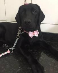 Filhote Labrador Retriver Pura de Pai e Mãe