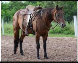 Cavalo Quarto de Milha puro- Indian Roosters VSJ