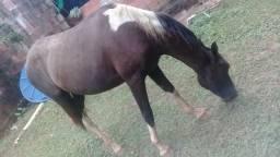 Cavalo e egua manso de raça