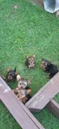 Cachorros yorkshire