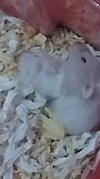 Título do anúncio: Filhotes de hamster sirio
