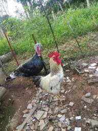 Troco galo por galinha, pato ou marreco