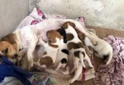 Filhotinhos de Jack Russell terrier