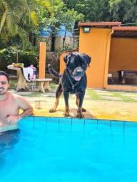 Rottweiler  03 anos
