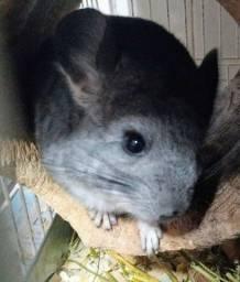 Chinchila cinza filhote, 2 meses
