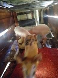 3 porcos 2 fêmeas, 1 macho