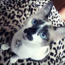 Doação gato fêmea pequena