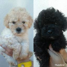 Vendo duas fêmeas de poodle toy