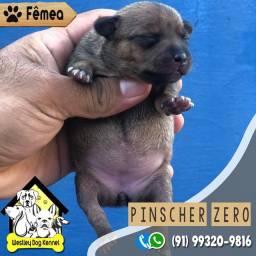 Linda filhote disponível de Pinscher micro 0