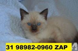 Gatil em BH Filhotes de gatos lindos Siamês Persa ou Angora