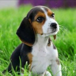 13 Polegadas Beagle Filhotes Garantia & Pedigree