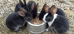 """Título do anúncio: Vendo mini coelhos """"Mini Rex"""""""