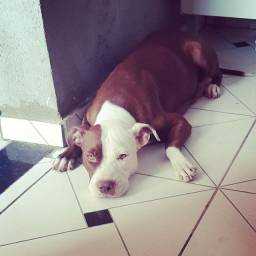 Filhotes AMERICAN BULLY E RED NOSE