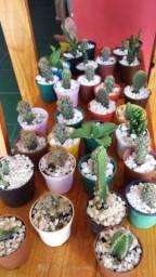 Planta cactos suculentas
