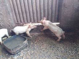 Dóis porco