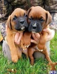 Lindos Filhotes Boxer Macho e Fêmea