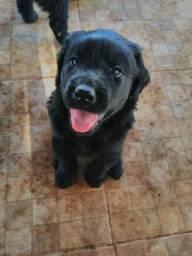Filhotes Labrador(Última Chance)