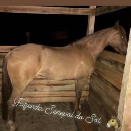 Égua Criola Confirmada
