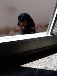 Vende-se um Rottweiler puro