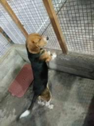 Vendo ou troco beagle puro