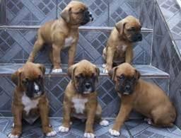 Boxer Filhotes