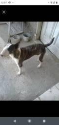 Cão bullterrier
