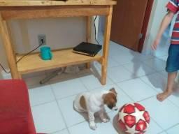 Vendo um mini beagle com Jack Russel filhote super saudável